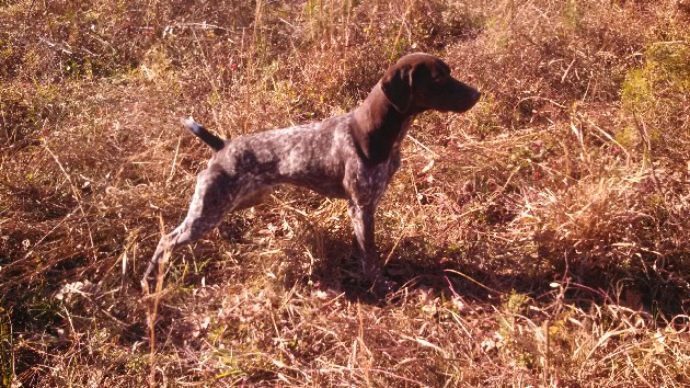 Hellion x Shooter German Shorthair Puppies
